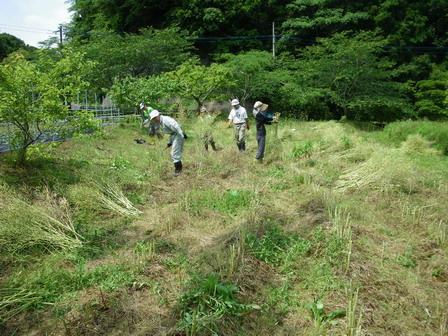 6月7日。セイヨウアブラナの刈り取りを行いました_a0123836_14414423.jpg