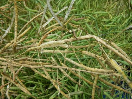 6月7日。セイヨウアブラナの刈り取りを行いました_a0123836_14442010.jpg