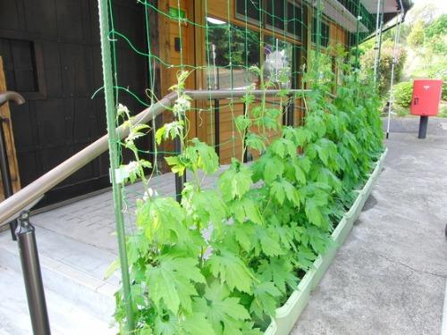 緑のカーテンプロジェクト 途中経過_e0222340_1730108.jpg