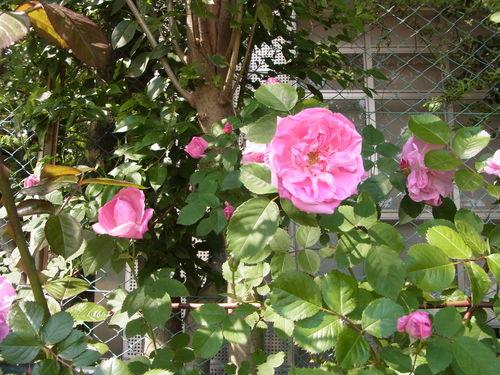 2012年5月バラの小径 満開です!_a0094959_13214564.jpg