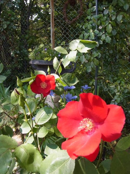 2012年5月バラの小径 満開です!_a0094959_13215099.jpg