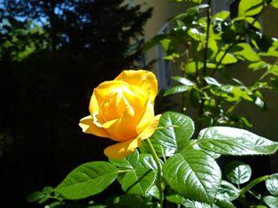Die Rose_e0116763_22271446.jpg