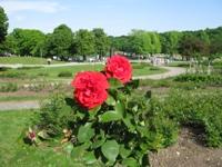 Die Rose_e0116763_22274075.jpg