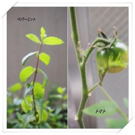 家庭菜園_c0232619_10342348.jpg