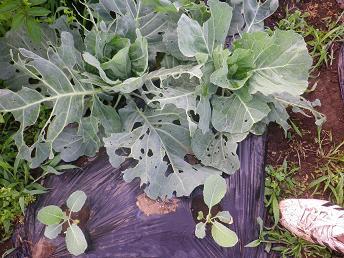 朝採り野菜_a0139242_5152333.jpg