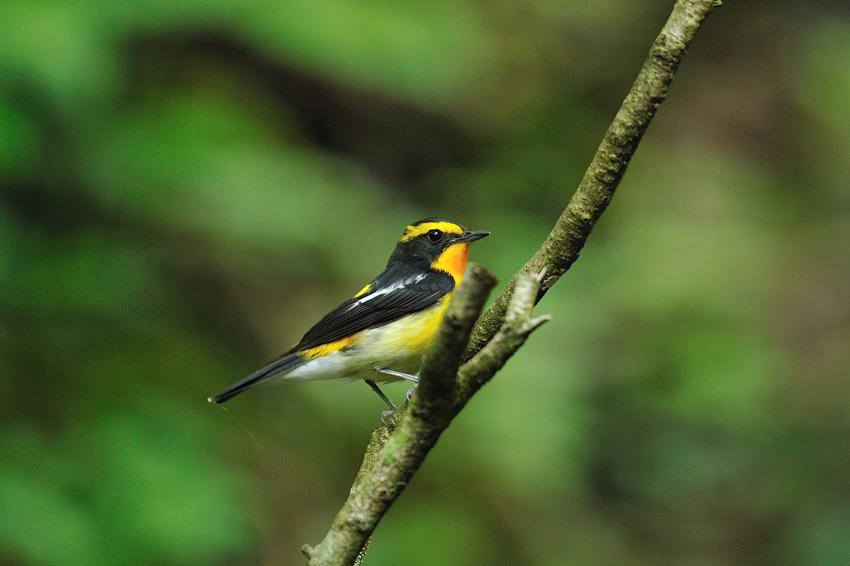 キビタキ(Narcissus flycatcher)~2012.06_b0148352_10560100.jpg