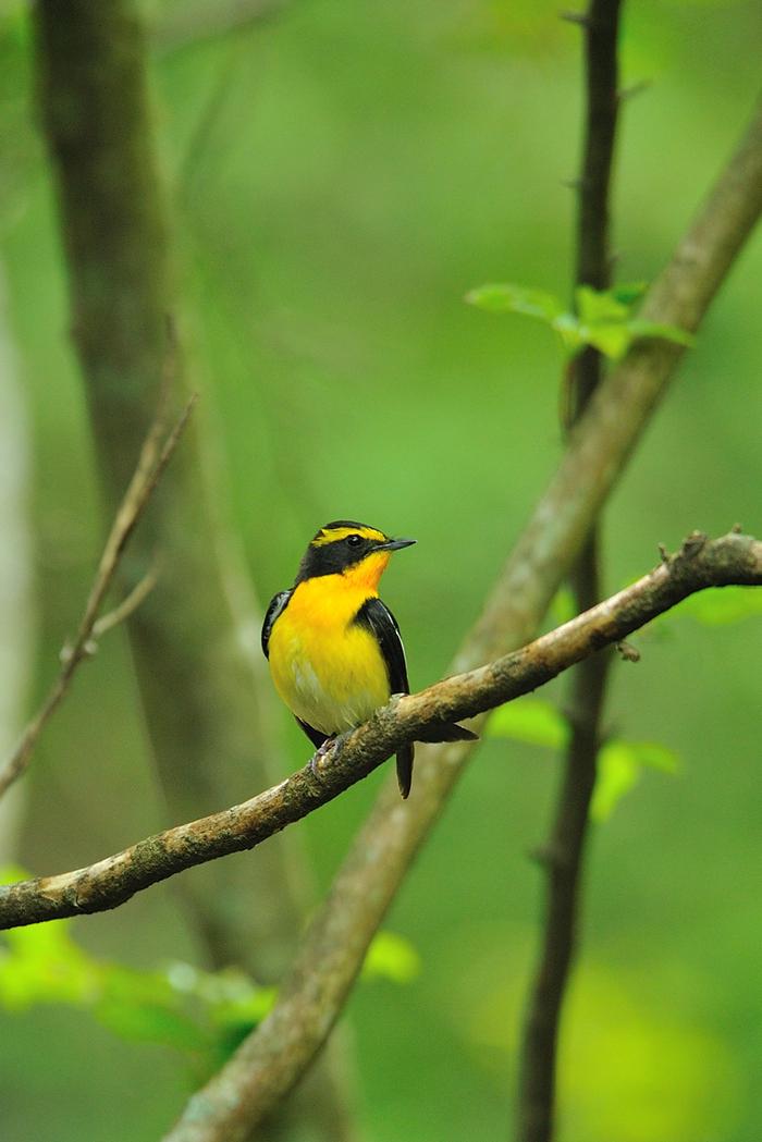 キビタキ(Narcissus flycatcher)~2012.06_b0148352_10563677.jpg