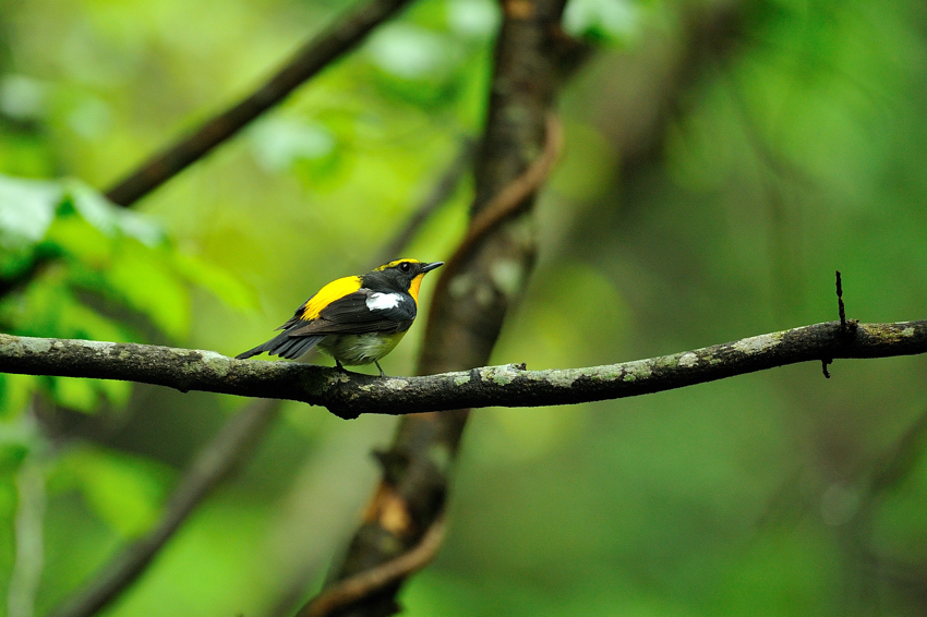 キビタキ(Narcissus flycatcher)~2012.06_b0148352_10572883.jpg