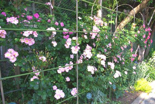 2012年5月バラの小径 満開です!_a0094959_16481372.jpg