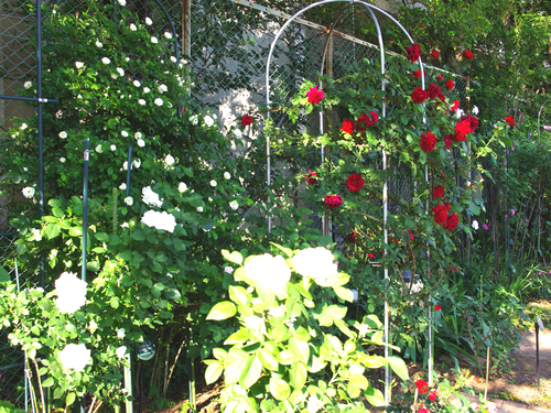2012年5月バラの小径 満開です!_a0094959_16504765.jpg