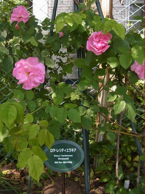 2012年5月バラの小径 満開です!_a0094959_172078.jpg
