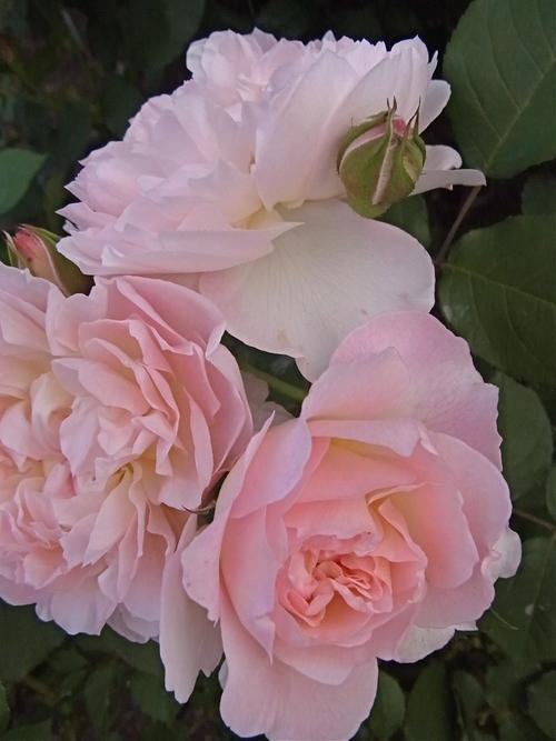 2012年5月バラの小径 満開です!_a0094959_1725222.jpg