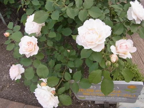 2012年5月バラの小径 満開です!_a0094959_1742512.jpg
