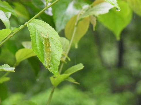 埼玉中部                     オオムラサキ幼虫2012/06/09_d0251807_14712100.jpg