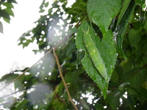 埼玉中部                     オオムラサキ幼虫2012/06/09_d0251807_1483222.jpg