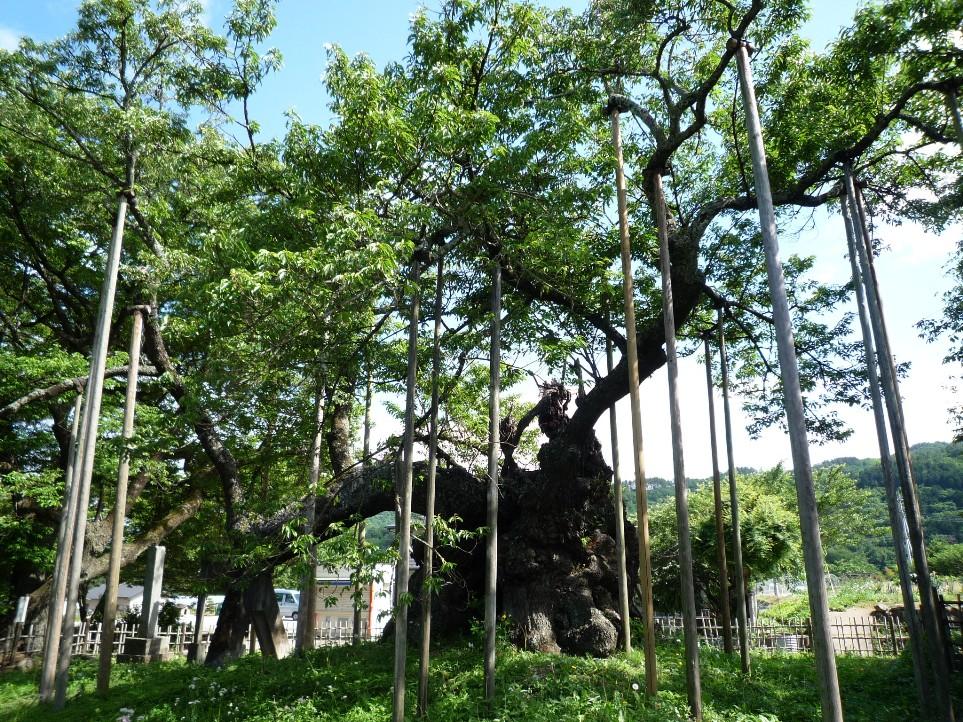 山高 神代桜_c0112447_12195548.jpg