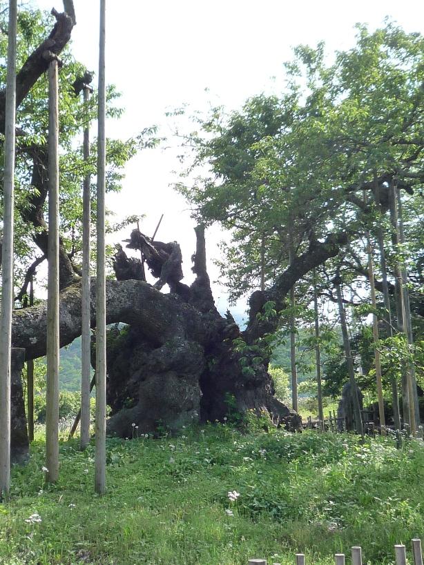 山高 神代桜_c0112447_12244273.jpg