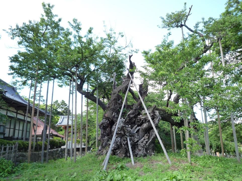 山高 神代桜_c0112447_12245316.jpg