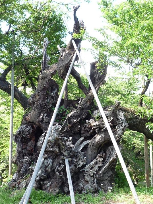 山高 神代桜_c0112447_1225554.jpg