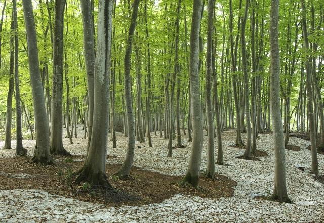 新緑の美人林 3_f0018464_2041151.jpg