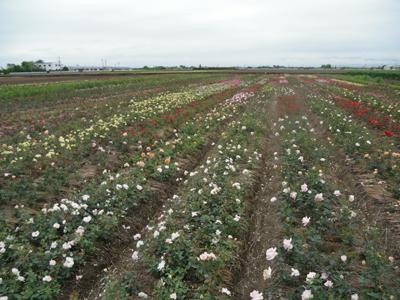 バラ苗生産農家-6月風景です/小さなバラ園byローズスタジオ_b0224889_7534634.jpg