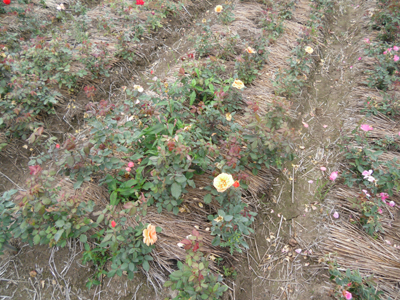 バラ苗生産農家-6月風景です/小さなバラ園byローズスタジオ_b0224889_7552661.jpg