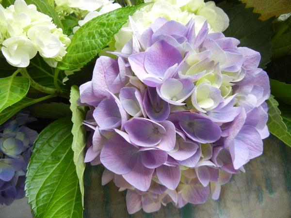 つどいの紫陽花♪_e0251361_13563380.jpg
