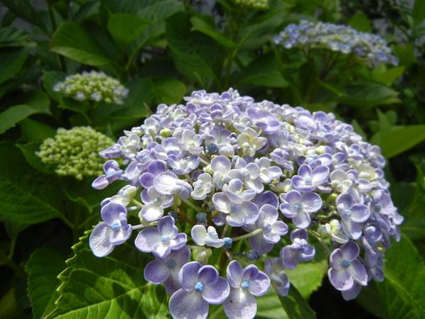 つどいの紫陽花♪_e0251361_13593088.jpg