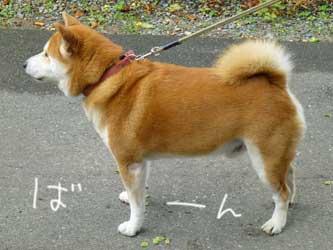 来訪柴犬ズ_b0057675_18352849.jpg