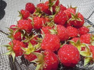 ラズベリー収穫_e0231387_1147104.jpg