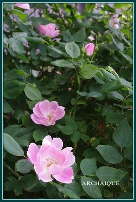 幸福スイーツアルカイック ならまち店 薔薇咲く!!_c0207890_0191045.jpg