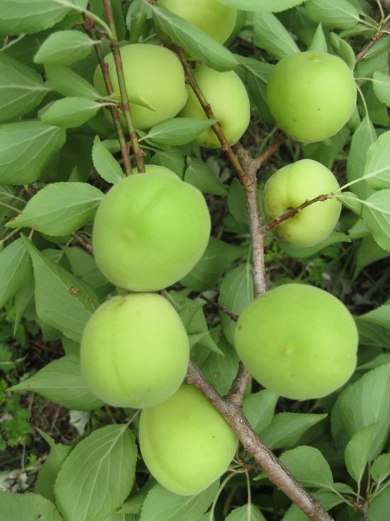 「梅の収穫」☆_a0125419_18411684.jpg