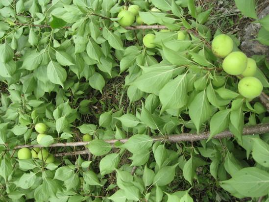 「梅の収穫」☆_a0125419_18414658.jpg