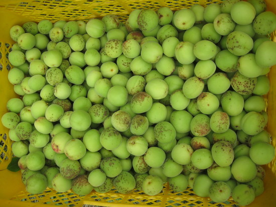 「梅の収穫」☆_a0125419_1845238.jpg