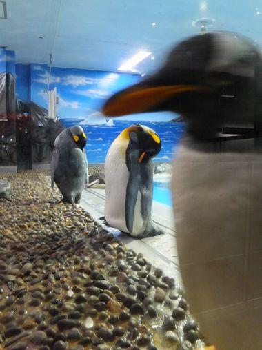 ペンギンおもしろ~い♪ ~福井・松島水族館~_c0152123_231613100.jpg