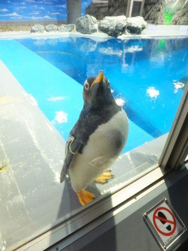 ペンギンおもしろ~い♪ ~福井・松島水族館~_c0152123_2337322.jpg