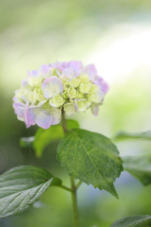 紫陽花公園_c0179959_13474070.jpg