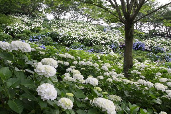 紫陽花公園_c0179959_13583572.jpg