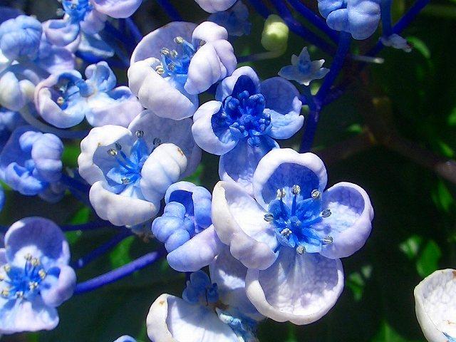 今、我が家の紫陽花!が満開~!キダリケよ~!ハハハーー。_d0060693_18571642.jpg