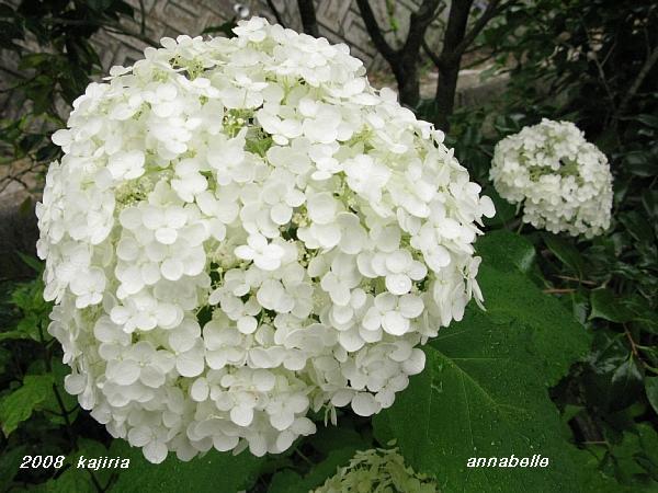今、我が家の紫陽花!が満開~!キダリケよ~!ハハハーー。_d0060693_18583165.jpg