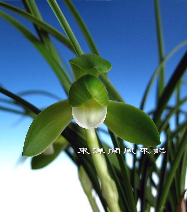 日本春蘭「素宝」                   No.453_f0178953_055559.jpg