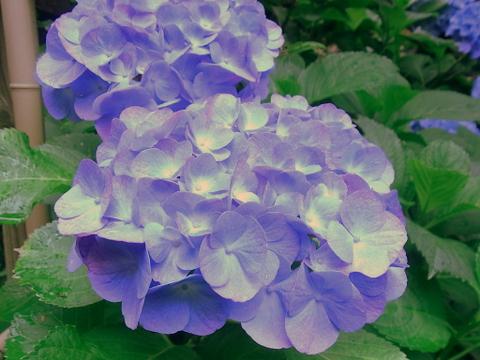 紫陽花_e0251278_5591189.jpg