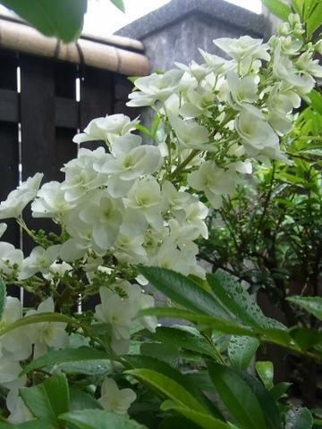 紫陽花_e0251278_559690.jpg