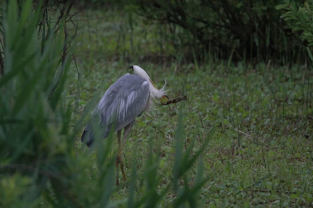 大きなザリガニに食いつかれたアオサギ/竹藪に不気味な影_b0024798_9512573.jpg