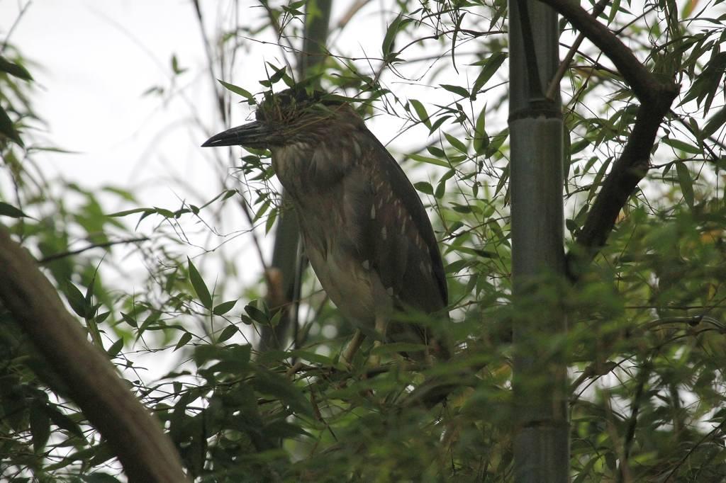 大きなザリガニに食いつかれたアオサギ/竹藪に不気味な影_b0024798_959022.jpg