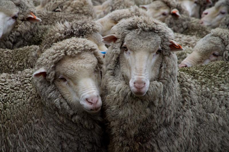 羊たちは、僕たちか?_f0137354_20522262.jpg
