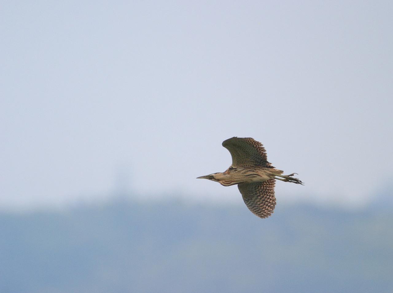 小田急線のチョウゲンボウ幼鳥は飛行練習中_f0105570_21551342.jpg