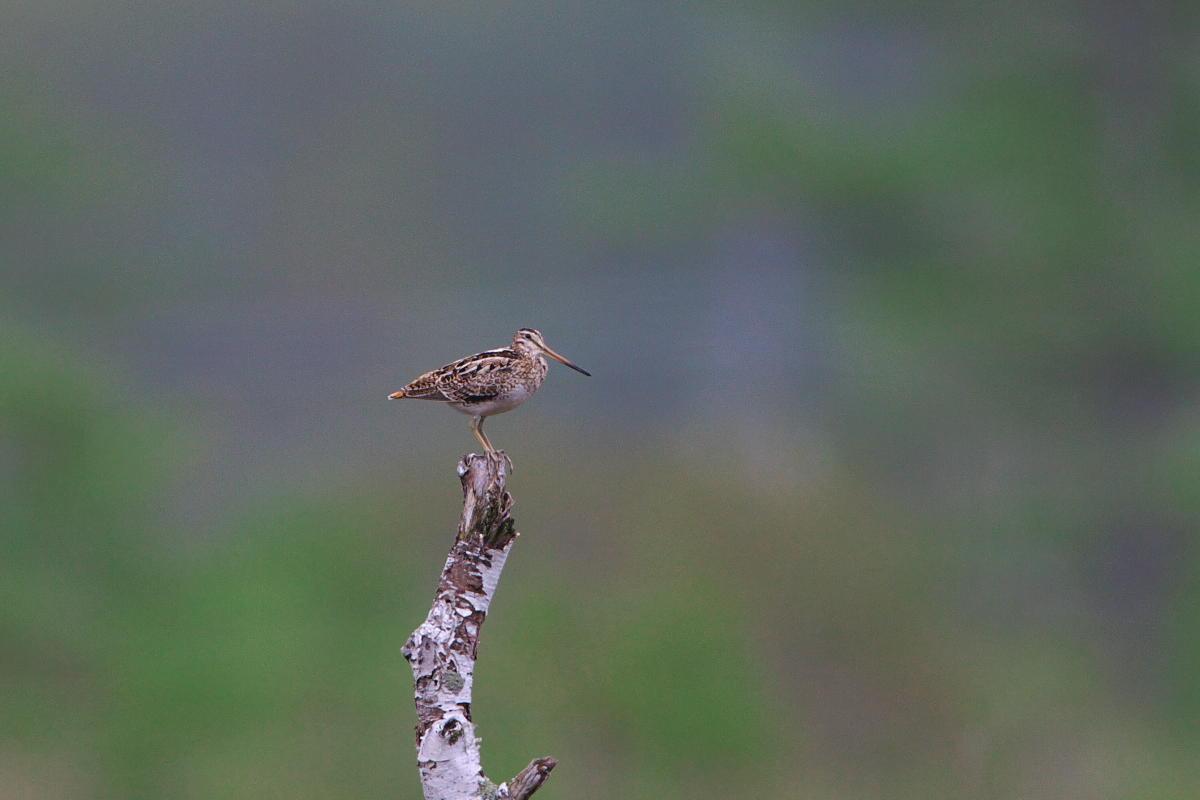 湿原のオオジ様_d0125872_024522.jpg