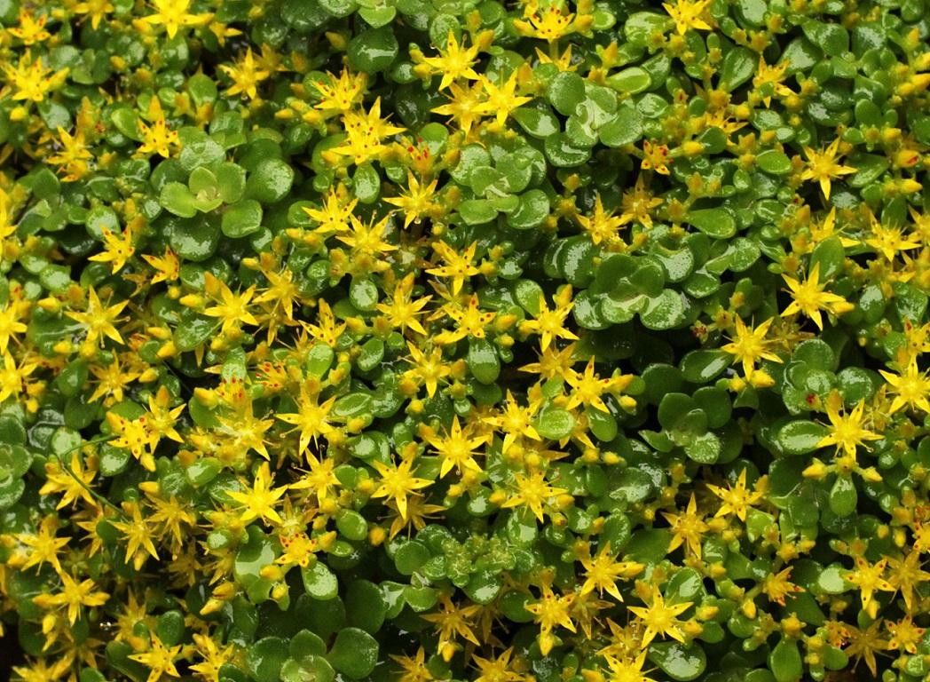 セダムの黄花&                      白アジサイのキモンシロチョウ・カマキリ_a0107574_20442289.jpg