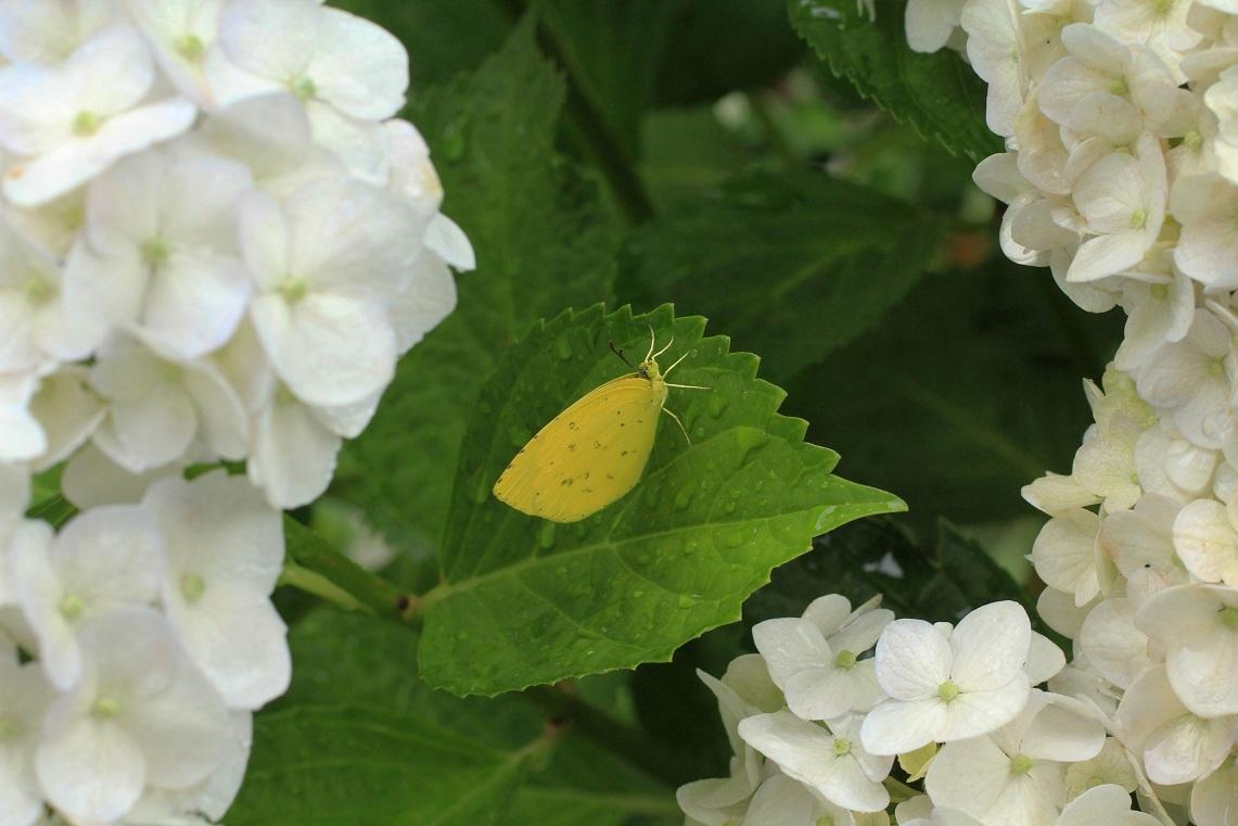 セダムの黄花&                      白アジサイのキモンシロチョウ・カマキリ_a0107574_204597.jpg